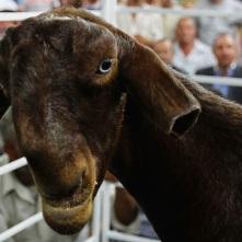 damascus+goat-image-dante+versus+nature-dante+ross-dantania-blogspot-com